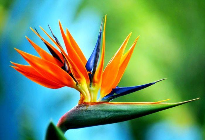 Top 10 Flowers Strelitzia