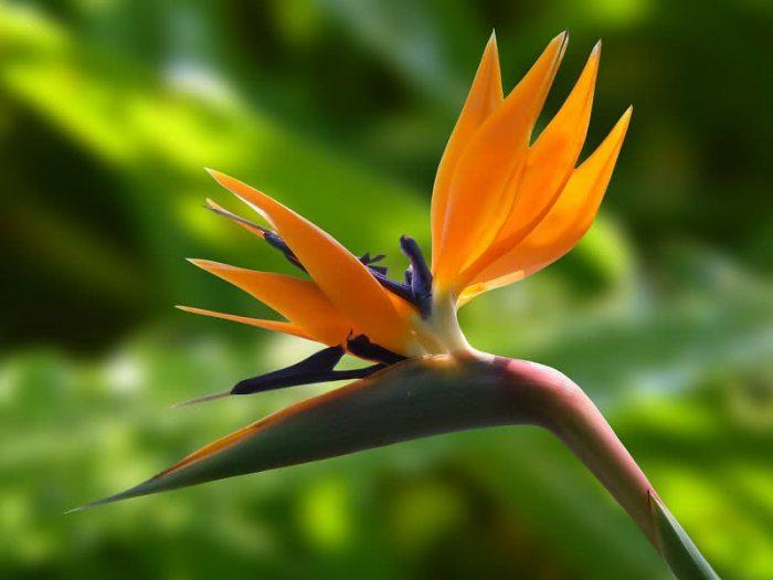 Top 10 Flowers bird-of-paradise