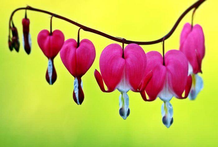 Top 10 Flowers bleeding-hearts