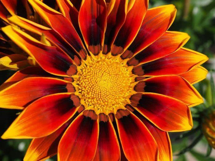 Top 10 Flowers gazania