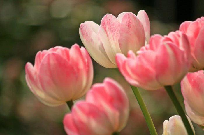 Top 10 Flowers tulips
