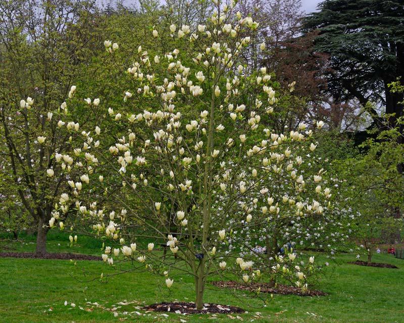 Mail order flowers magnolia yellow lanternws same day flower delivery mail order flowers magnolia yellow lanternws mightylinksfo
