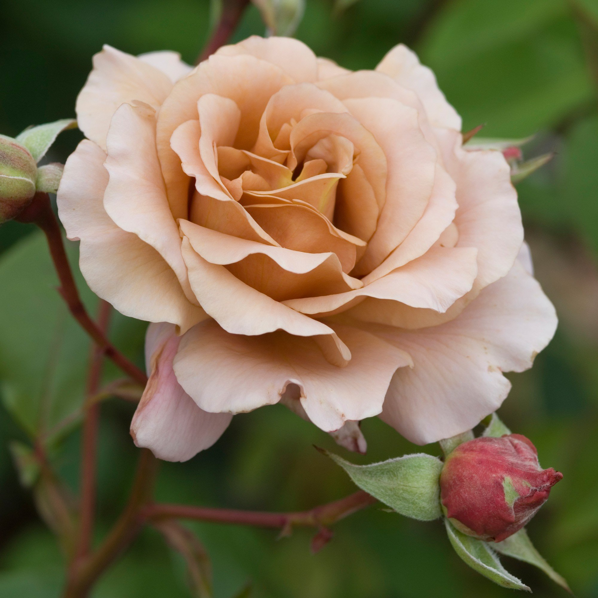 Saturday flower delivery same day flower delivery by httpsdavidaustinroses mediacatalogproductcache1image9df78eab33525d08d6e5fb8d27136e95jujuliasrose11g izmirmasajfo