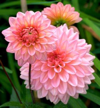 august birth month flower pinkdahlias