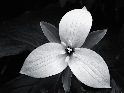 Black And White Flower Photography Same Day Flower Delivery