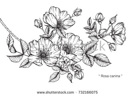 Hibiscus Flower Pencil Drawing Same Day Flower Delivery