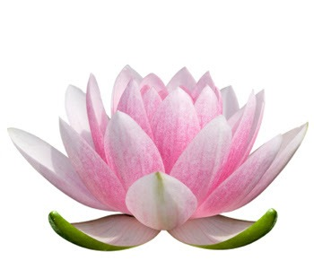 Lotus Flower Images Same Day Flower Delivery