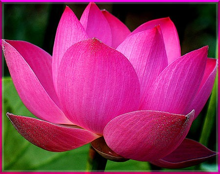 Lotus Flower Meaning Buddhism Same Day Flower Delivery