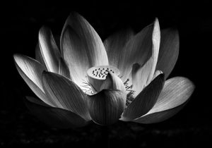 Lotus flower pictures black and white same day flower delivery gallery images list photos banner download of lotus flower pictures black and white mightylinksfo