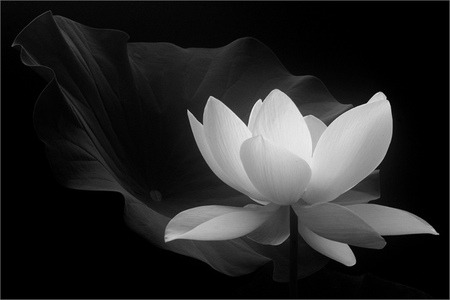 Lotus Flower Pictures Black And White Same Day Flower Delivery
