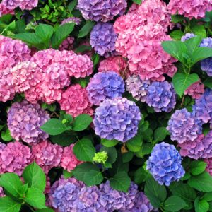 Perennial flowers same day flower delivery gallery images list photos banner download of perennial flowers mightylinksfo