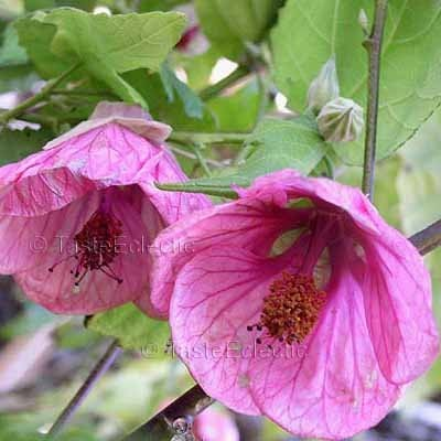 Pink Hibiscus Flower Meaning Same Day Flower Delivery