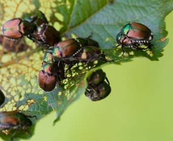 Stop Japanese Beetles Flowers