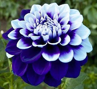 White Lily Flower Meaning 508d3f137f05fa5e4acc34797cd03ab7 Dalia