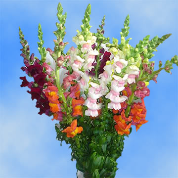 Yellow Flowers Meaning Beautiful Assorted Colors Snapdragon Flowers