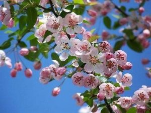 flowers that look like cherry blossoms fiori melo