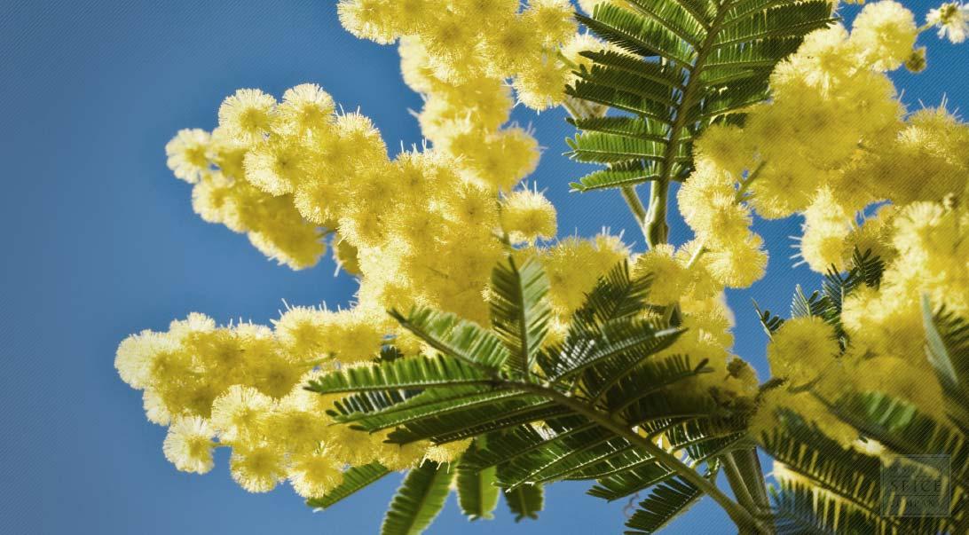 Acacia Blossom Flower