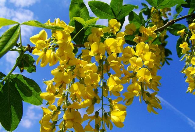 Acacia Flower Benefits
