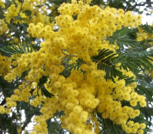 Acacia Flower Essence