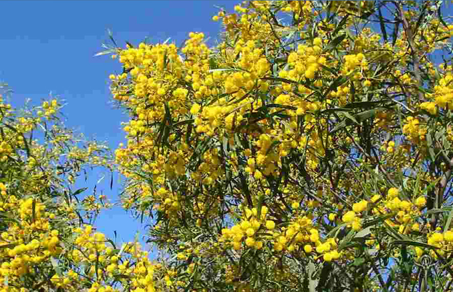 Acacia Flower Meaning