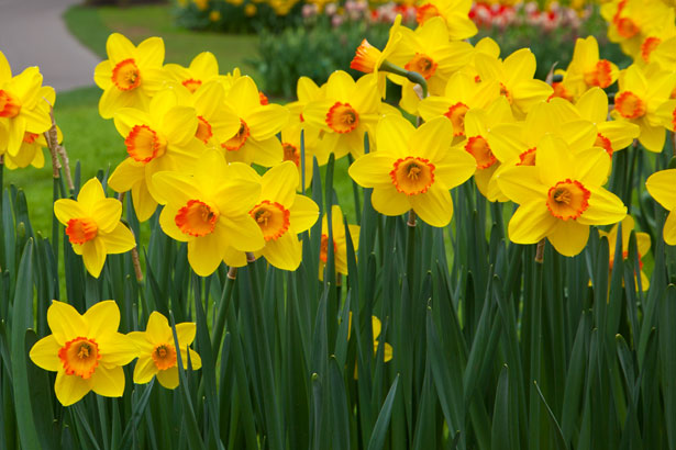 Daffodil Flower Pictures Free