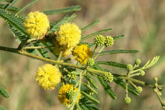 Yellow Acacia Flower Meaning