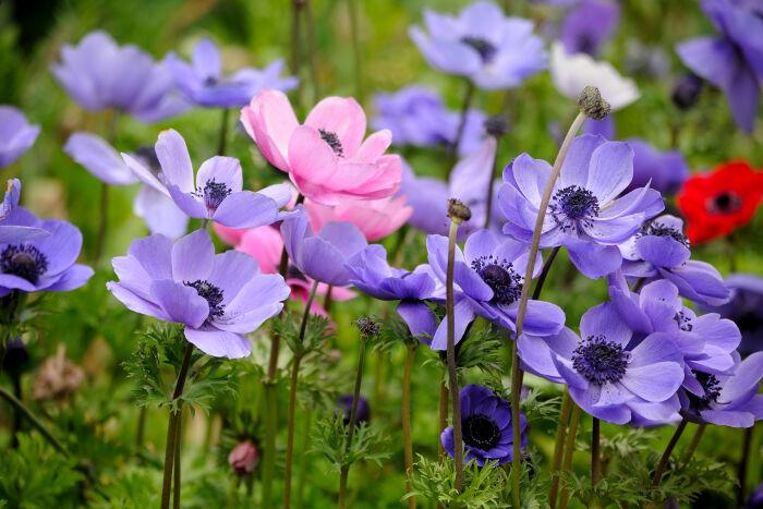 Anemone Flowers Bloom
