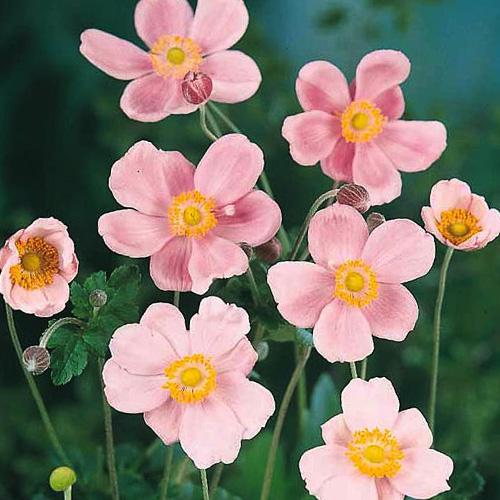 Pink Anemone Flowers