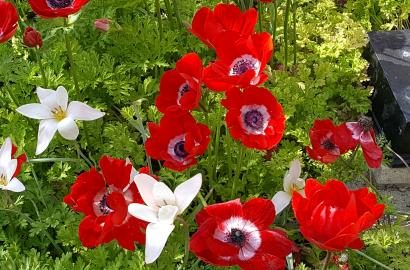 Red and White Anemone Flowers