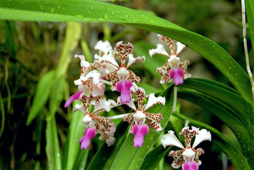 Bulan Bintang Orchid