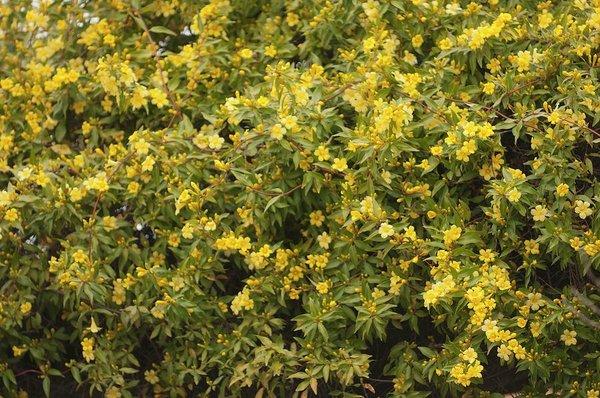 Jasminum Parkway flower
