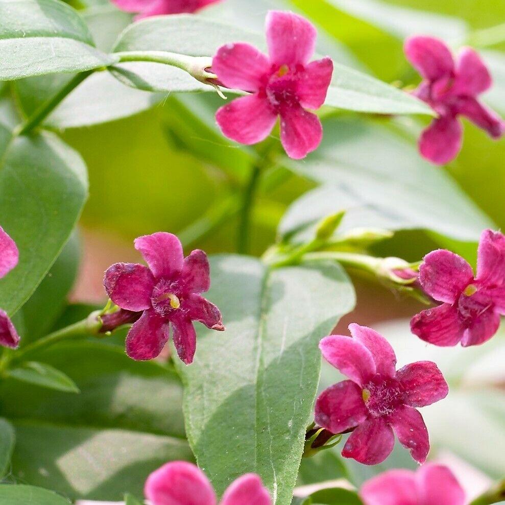 Jasminum beesianum flower