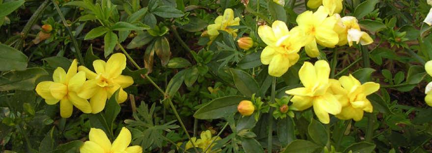 Jasminum mesnyi flower