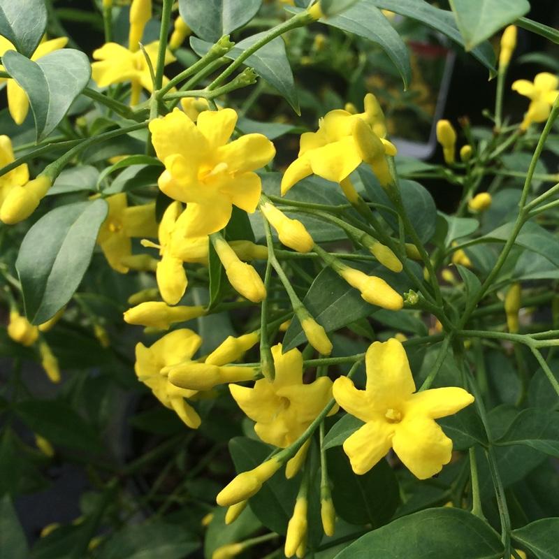 Jasminum revolutum flower