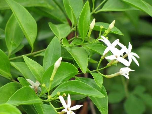 Jasminum simplicifolium flower