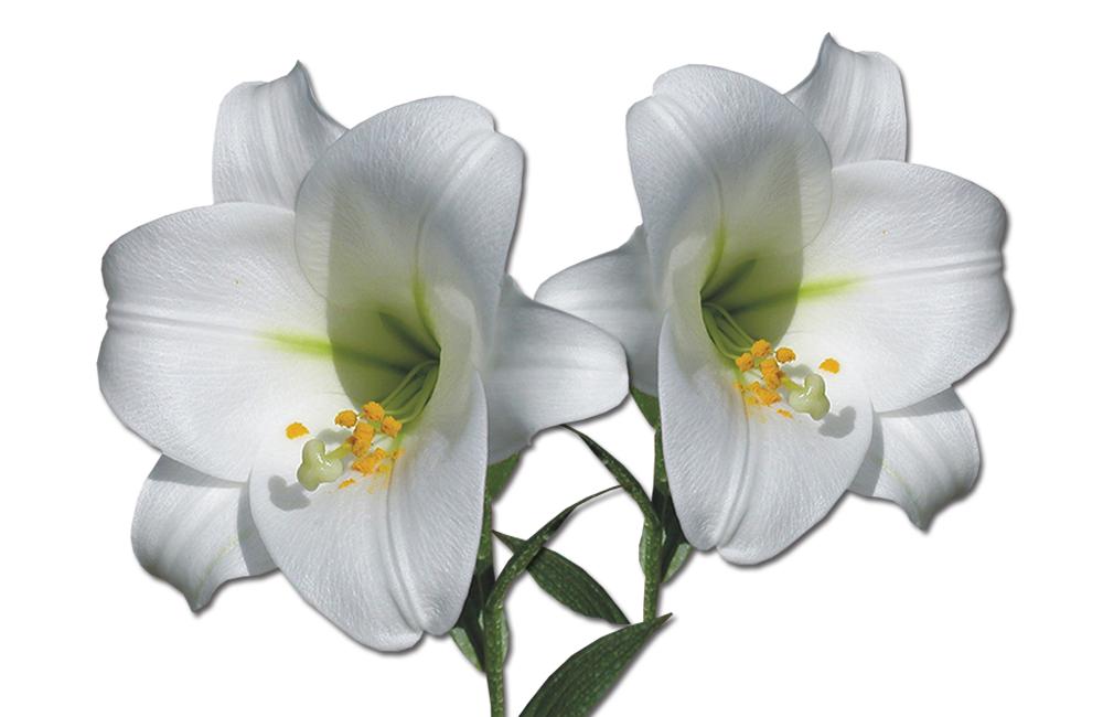Lili Candilongi flower varieties