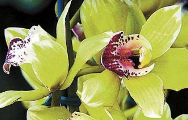Orchid Shenzhen Nongke