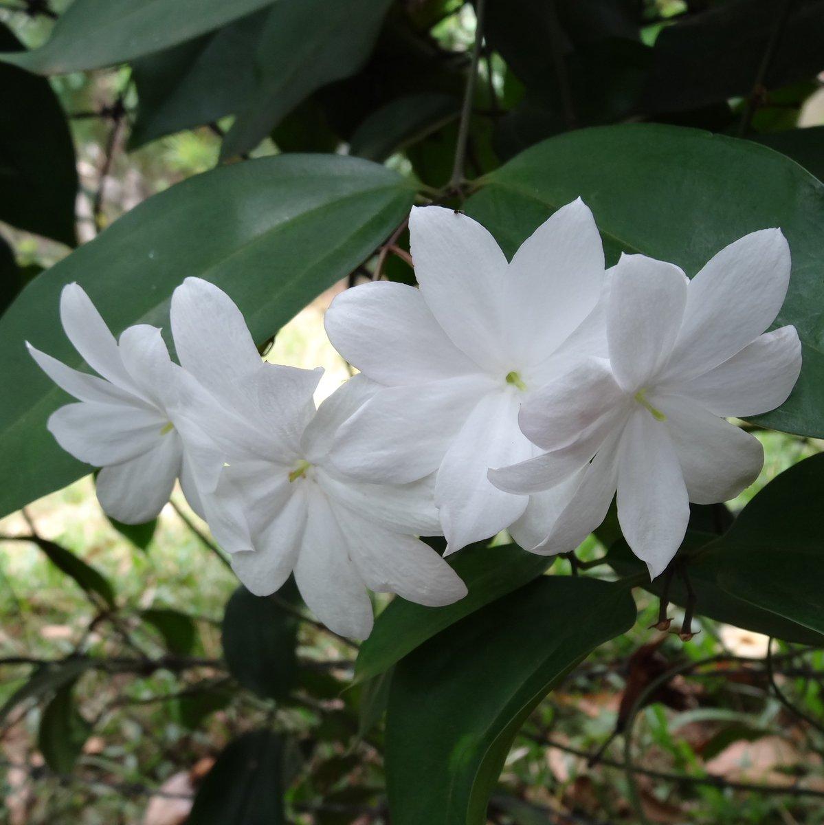 Rex Jasminum flower