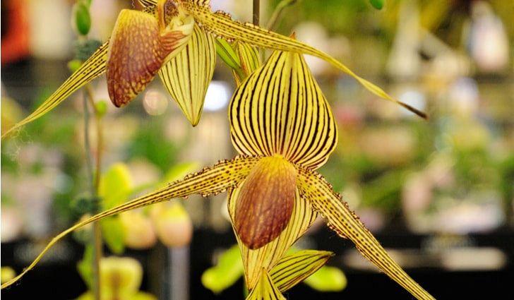 Rothschild Orchids