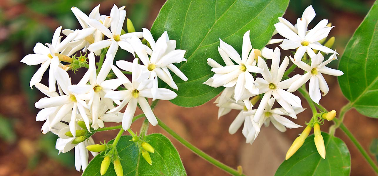 Types Of Famous Jasmine Flowers In The World