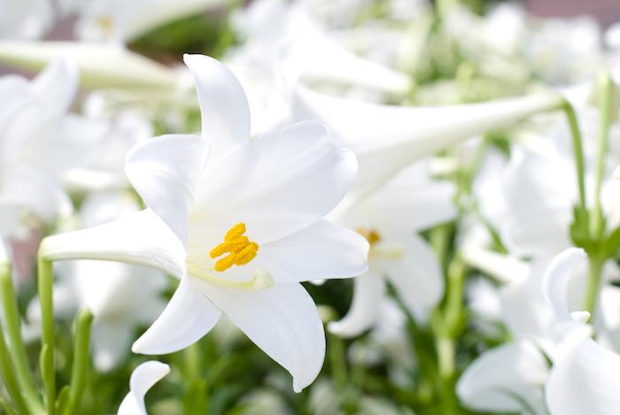 Teppo Yuri (テッポウユリ – Lilium longiforum)