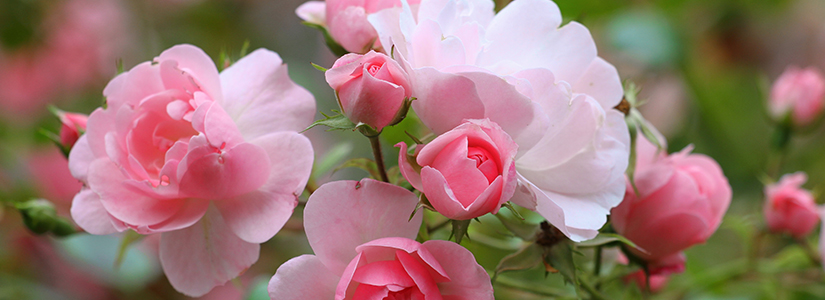 Best Rose Gardening Tips (Bioadvanced)