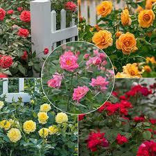 Best Rose Gardening Tips - Freedom Roses (m.springhillnursery.com)