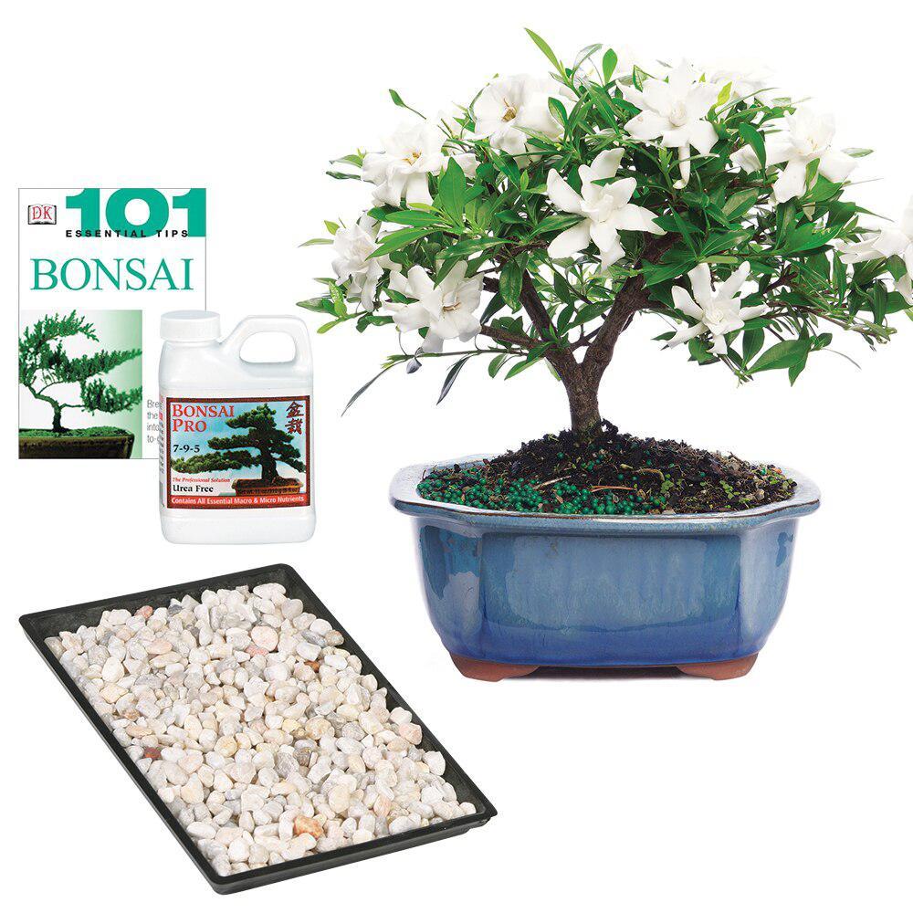 Brussel's Bonsai Gardenia (The Home Depot)