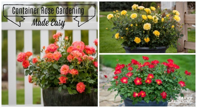 Container Rose Gardening Made Easy (Sawy Gardening)