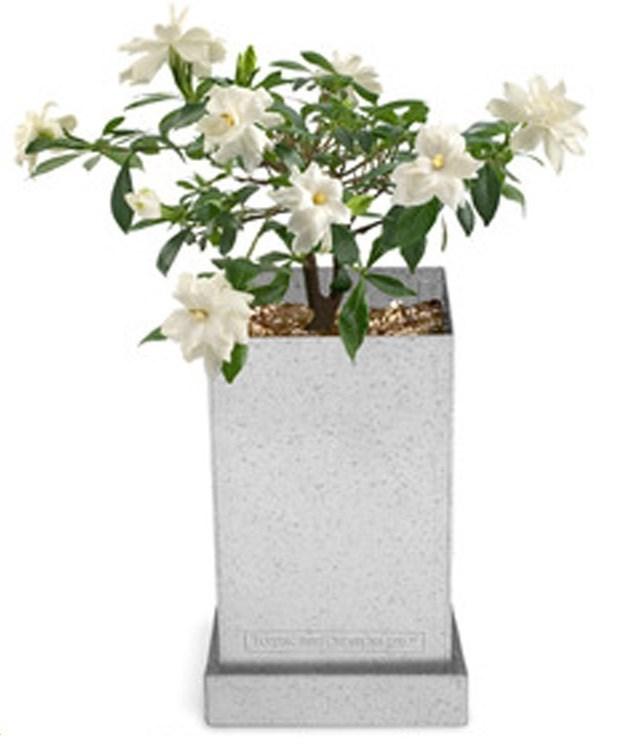 Gardenia-Bonsai (Giving Plants Blog)