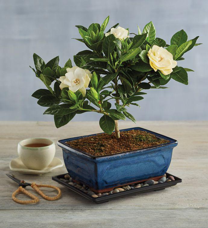 Gardenia Bonsai Tree Gift (Harry & David)