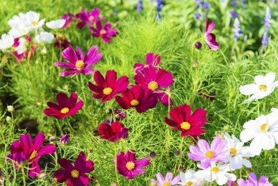 Cosmos (Cosmos species) flower (Grdener Know How)