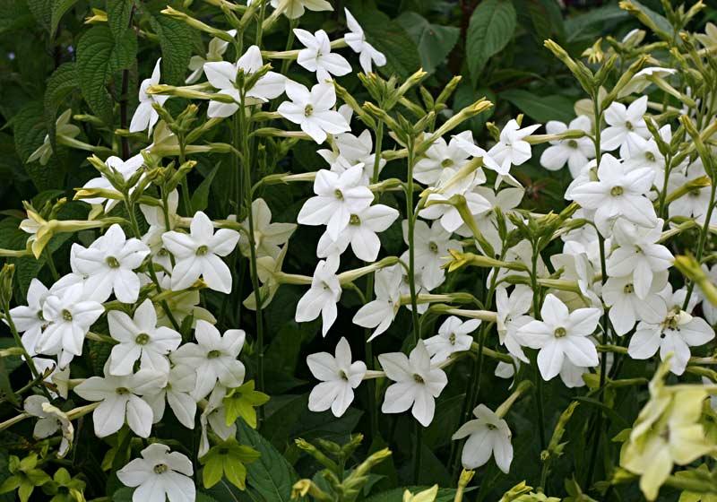 Jasmine tobacco (Nicotiana species) flower (daily.jstor.org)