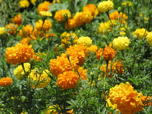 Mexican Marigold (Tagetes species) flower (Feedipedia)